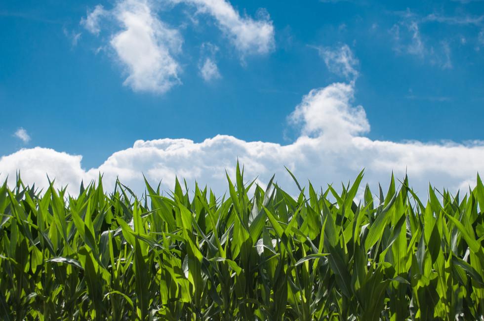corn-blue-sky-980x650